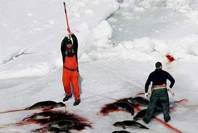 【转】请大家去投票反对加拿大向中国出售海豹肉,谢谢! - zondery - zondery的博客
